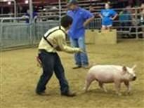 FFA Pig 1