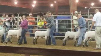 Fair - Lamb